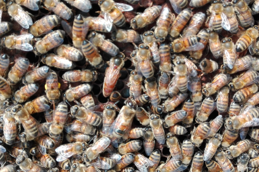 Nuclei di api artificiali allevati dall'azienda Galati Fabio in Calabria.